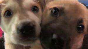 Adopt a pet: Collie cross puppies