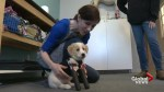Rescue puppy Cupid takes his first steps on prosthetic legs