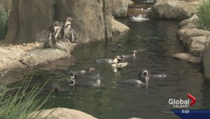 Seven drowned penguins may have 'panicked'