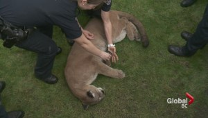Cougar prowls through streets of downtown Victoria