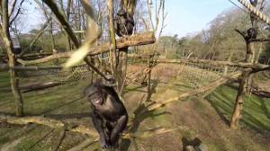 Chimp attacks, destroys drone at Dutch zoo