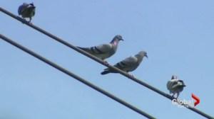 Toronto to consider pigeon feeding ban