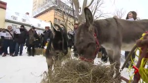 Quebec City's Christmas donkey and goat