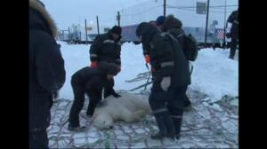Curious Polar Bear, tranquilized, transported following repeated visits to oil rig
