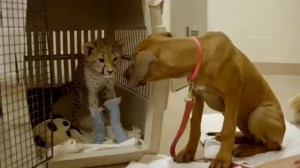 Cheetah cub bonds with puppy while recovering from surgery