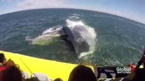 A whale of a summer on the St. Lawrence River