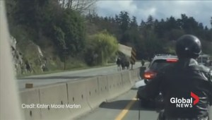 Cows make run for freedom on Vancouver Island highway