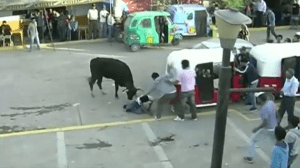 Peru running of the bulls ends in gore, injuries