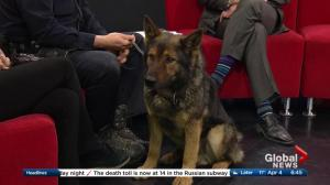 Crime Stoppers: the work of a police service dog