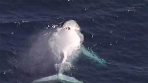Rare white humpback whale sighted