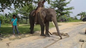 Elephants in Indonesia now being trained to help fight forest fires