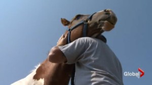 A look at how horses are being used to help veterans deal with post traumatic stress