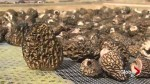 Wildfire produces cash crop of mushrooms