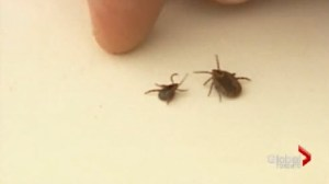 Ticks carrying Lyme disease on the rise