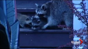 Raccoon in your attic: Who are you  going to call?