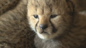 Raw video: Richmond Zoo welcomes five new cheetah cubs