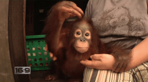 Jungle Survivors: Saving Orangutans in Borneo