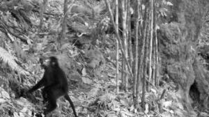 Conservationists rejoice as endangered monkey finally captured on film