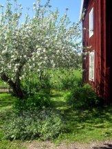 Klivet Halvarsviken i blom