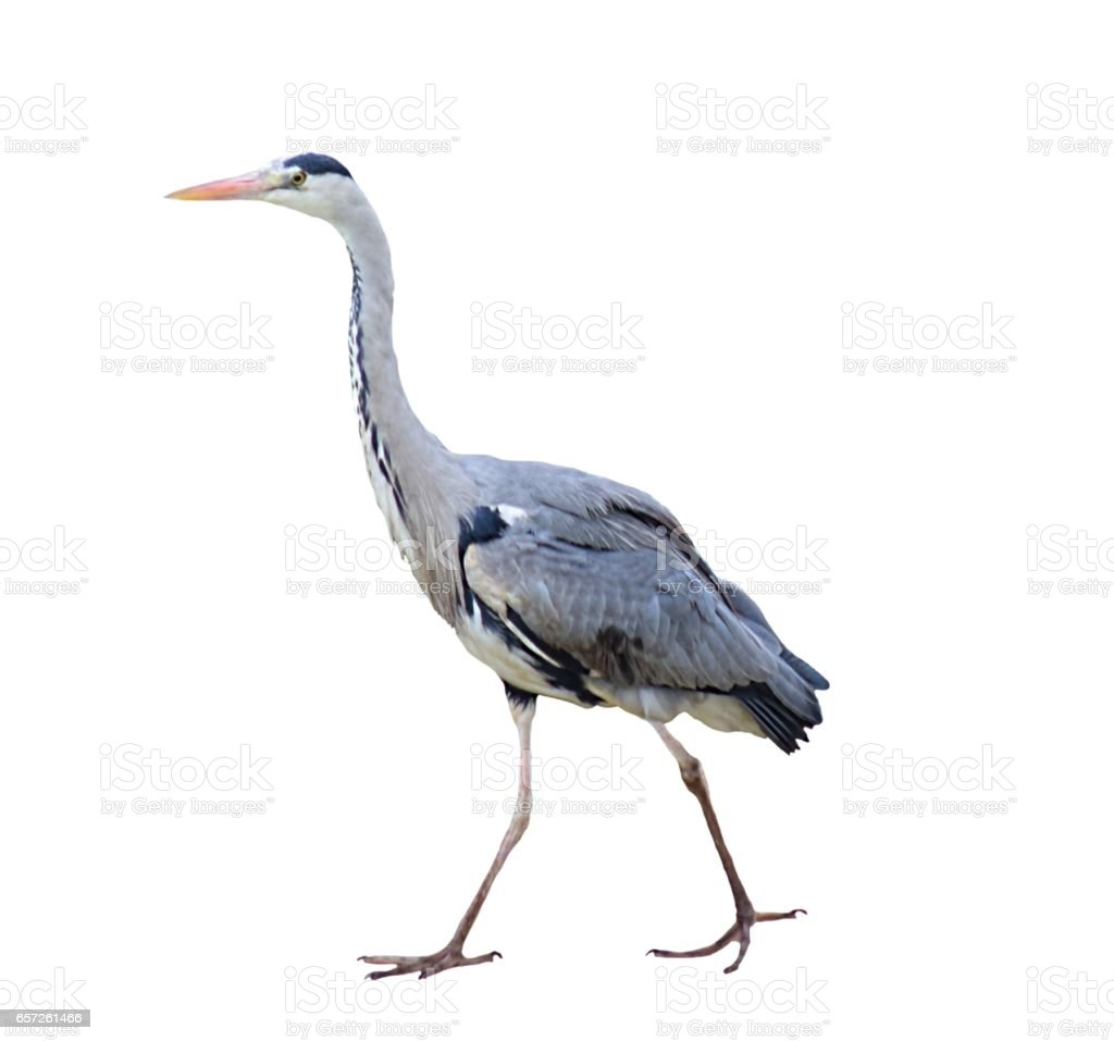Grey Heron Wading Bird Isolated On A White Background Stock Photo     grey heron wading bird isolated on a white background royalty free stock  photo