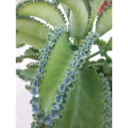 Small Crop Of Mother Of Thousands