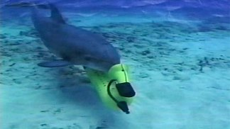 Navy-Trained Dolphins Search for Bombs