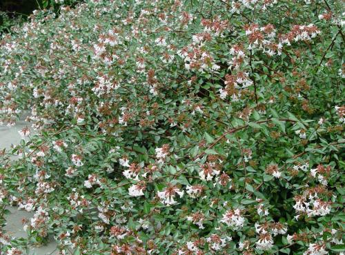 Medium Of Rose Creek Abelia