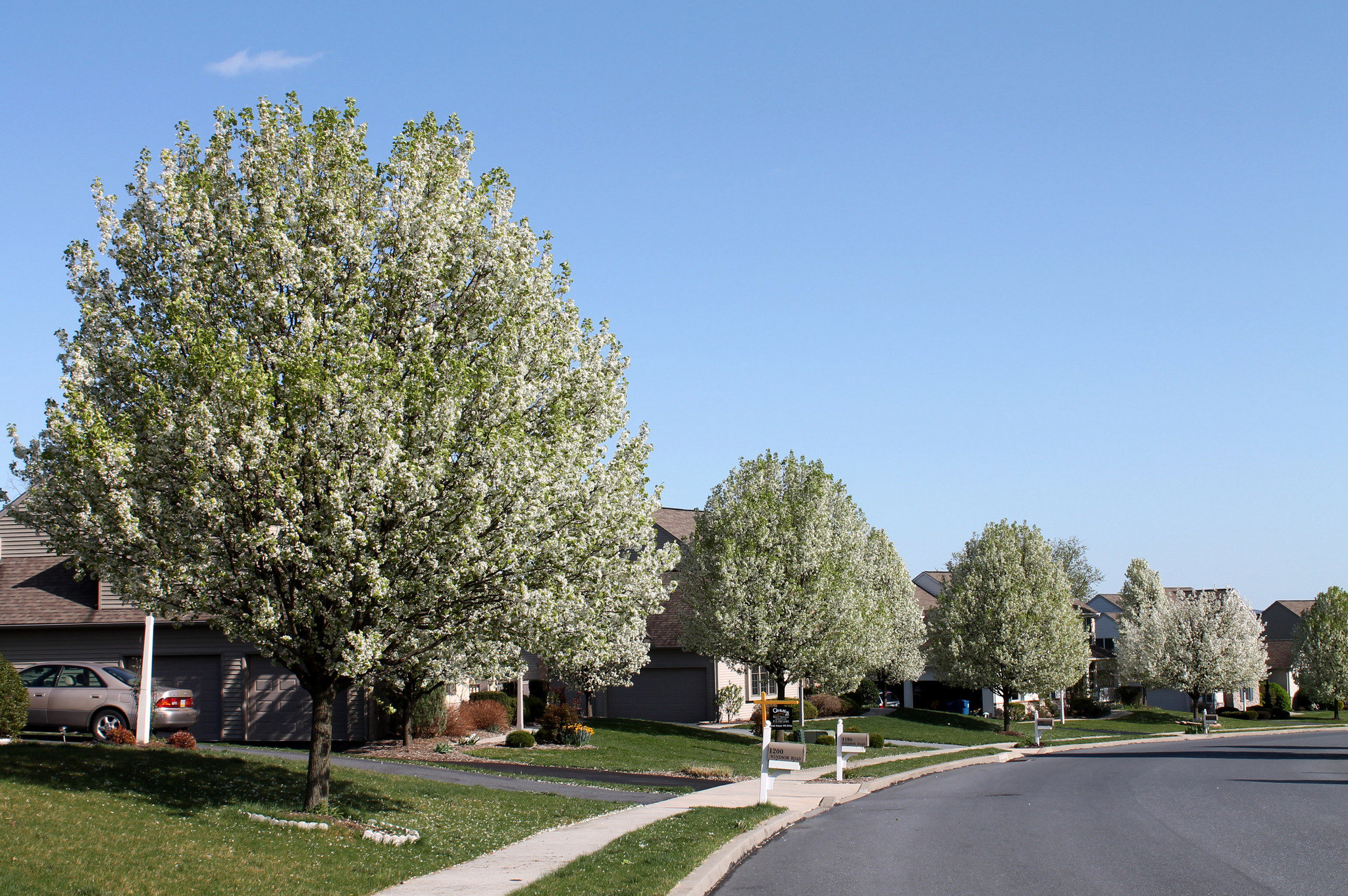 Gorgeous Can I Help Lagging Pear Trees Grow By Fertilizing Gardening Can I Help Lagging Pear Trees Grow By Fertilizing Gardening Cleveland Select Pear Tree Watering Cleveland Select Pear Tree Height houzz-03 Cleveland Select Pear