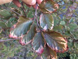 Small Of Tri Color Beech