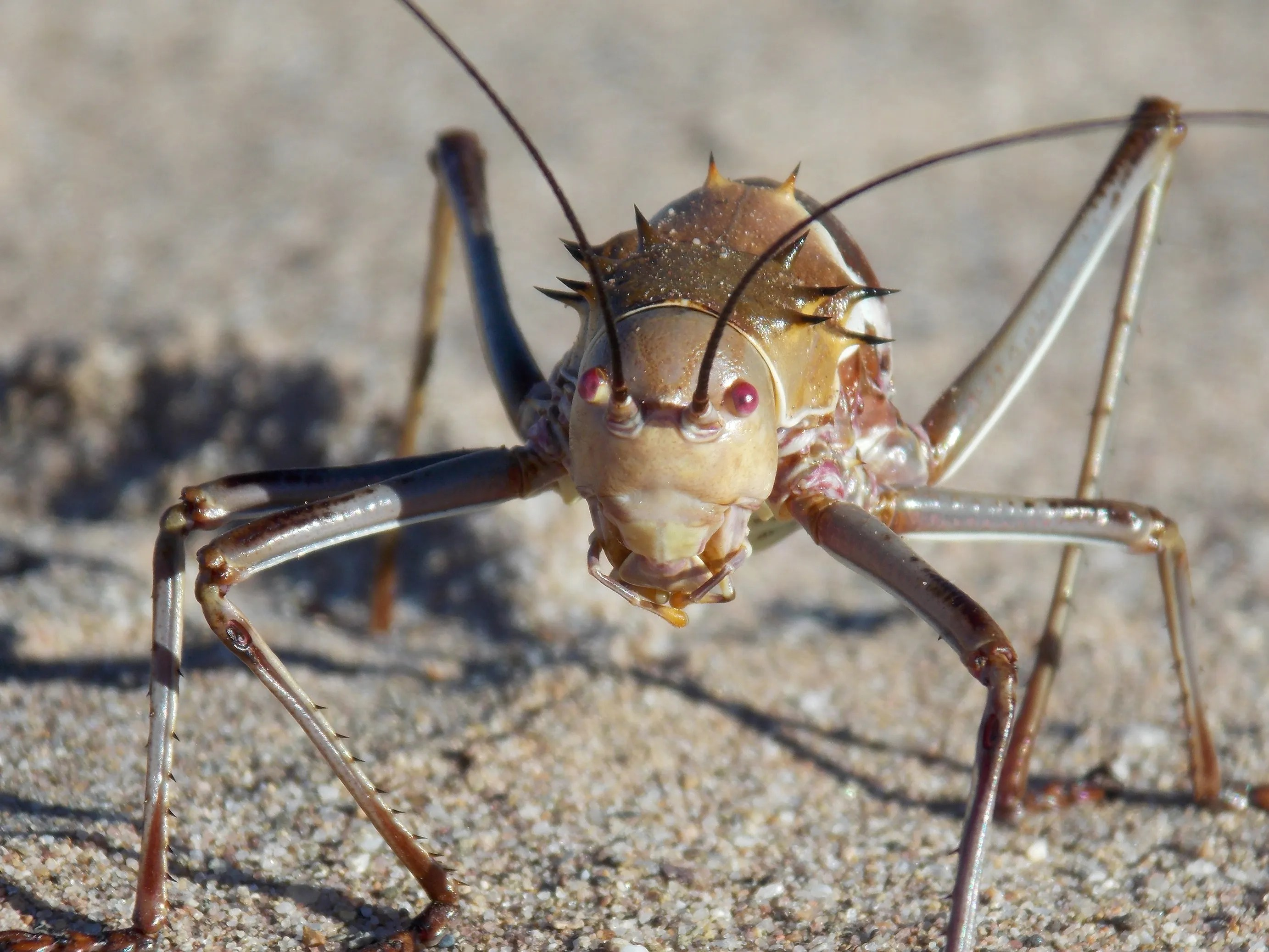 Compelling Creature Facts About Armoured Bush Cricket Creature Facts About Armoured Bush Cricket What Do Crickets Eat Your House Why Do Crickets Eat Cardboard houzz-03 What Do Crickets Eat
