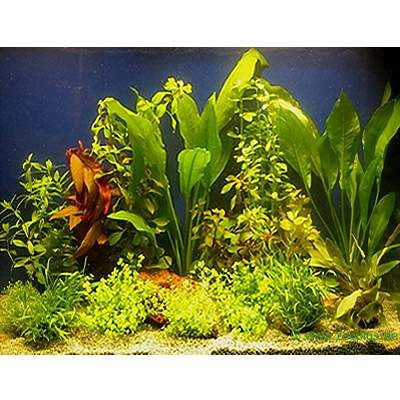 14124 1 Aquarium   Aquariumplanten 