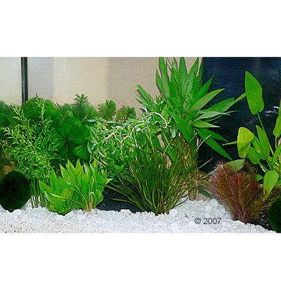 50502 zooplants guppy platy 2 Aquarium   Aquariumplanten 