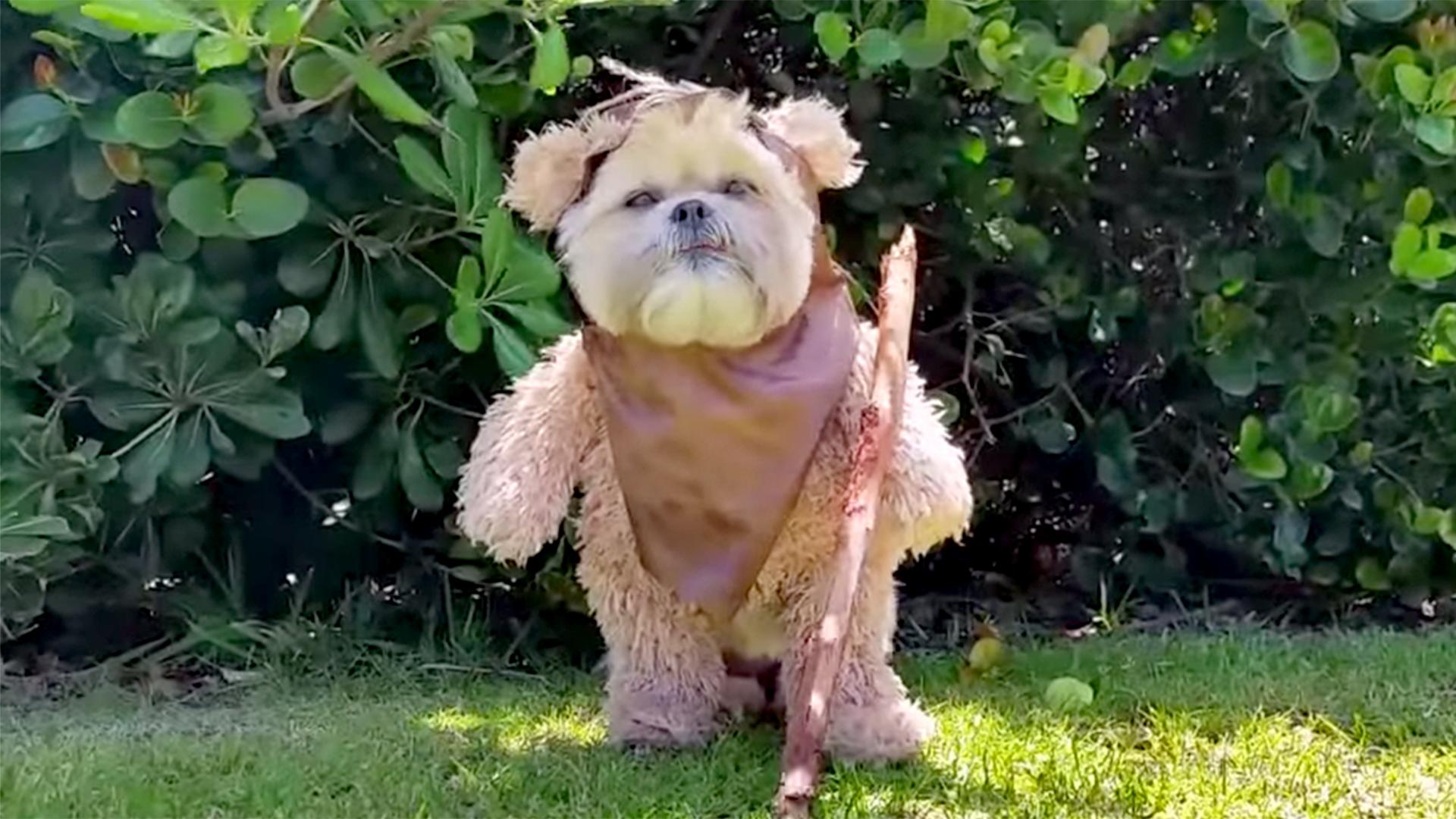 Gorgeous Munchkin Ewok Impression Is A Star Munchkin Ewok Impression Is A Star Wars Dog Leash Star Wars Dogfight bark post Star Wars Dog