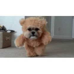 Small Crop Of Teddy Bear Dogs