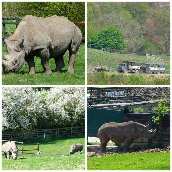 Rhinos at Port Lympne Safari Park, Kent, England