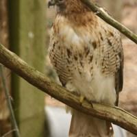 A nobre arte de adestrar falcões - I
