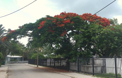 Sweet Royal Poinciana Is Not Native To Or Even This Butit Is Now Official Tree Some Islanders Say Ors Royal Poinciana Tree Images Royal Poinciana Tree Key Are Royal Poincianas Right Sale