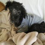 Felix, a Poodle Mix Puppy