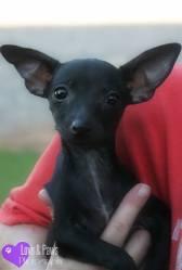 Remi, Chihuahua Mix Puppy