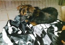 Palmer, Dachshund/Toy Fox Terrier mix