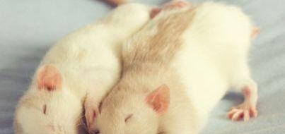 rats_403_355