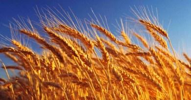 El trigo es responsable de la aparición de la inflamación en numerosas enfermedades crónicas | Por: @linternista