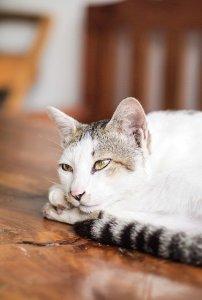 gato cancer