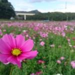 2017年も金武町・伊芸のコスモス畑にめんそーれ。