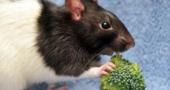 """Cientistas conseguem """"desligar"""" o switch no cérebro de ratos que controla o apetite"""