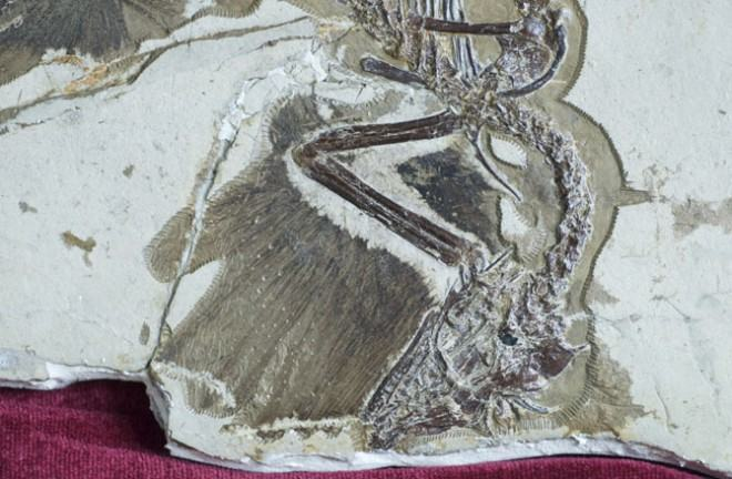 dinosaur_feathers_fossil2-660x432
