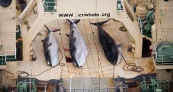 Japão é proibido de caçar baleias, mas não comemore ainda