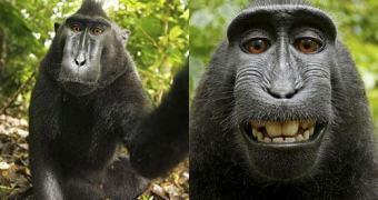 Fotógrafo disputa autoria de foto com macaco? Entenda esse rolo