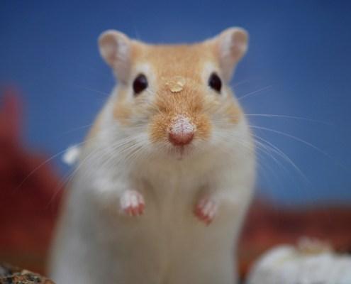 Hamster rumination mentale