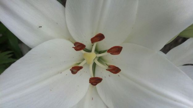 White lilly 3